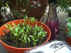 3-coriander-sprouts